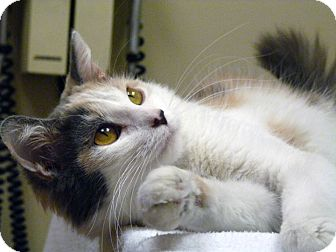 Domestic Mediumhair Cat for adoption in Chicago, Illinois - Leilani