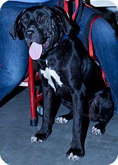 Labrador Retriever Mix Puppy for adoption in Loudonville, New York - Velvet