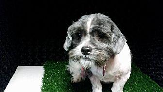 Shih Tzu/Terrier (Unknown Type, Medium) Mix Dog for adoption in Urbana, Ohio - Sparky West