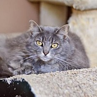 Maine Coon Cat for adoption in Santa Monica, California - Puffy