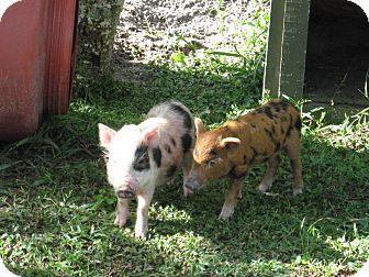 Pig (Farm) for adoption in Christmas, Florida - Porkers