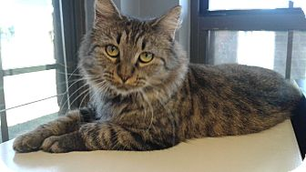 Domestic Longhair Cat for adoption in Lake Charles, Louisiana - Zoey