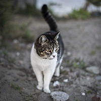 Adopt A Pet :: Working Cats - Colville, WA