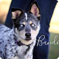Australian Cattle Dog Mix Dog for adoption in Joliet, Illinois - Bandito