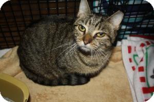 Bengal Kitten for adoption in Acushnet, Massachusetts - Honey Bun