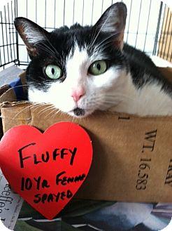 American Shorthair Cat for adoption in Whitestone, New York - Fluffy