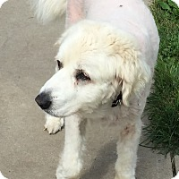 Adopt A Pet :: Snowy SPONSORED - Bloomington, IL