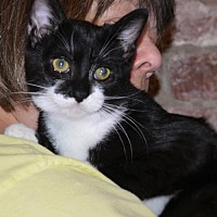 Domestic Shorthair Cat for adoption in Horn Lake, Mississippi - ZCL Taffy