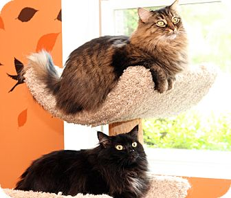 Domestic Longhair Cat for adoption in Royal Oak, Michigan - HEATHER & HAILEY
