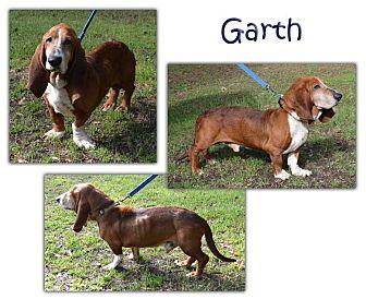 Basset Hound Dog for adoption in Marietta, Georgia - Garth