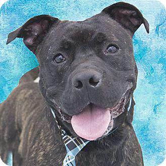 American Staffordshire Terrier Mix Dog for adoption in Cincinnati, Ohio - Trigger