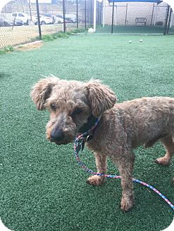 Poodle (Miniature) Mix Dog for adoption in Dallas, Texas - Cosmo