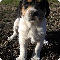 Adopt A Pet :: Flavia - Danbury, CT