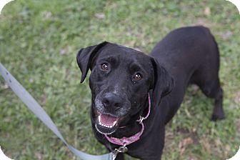 Labrador Retriever Mix Dog for adoption in Houston, Texas - Sadie