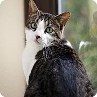 Domestic Shorthair Cat for adoption in Portland, Oregon - Addy