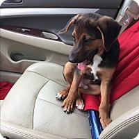 Adopt A Pet :: GUS - Fishkill, NY