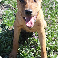 Adopt A Pet :: Penny - Westminster, CO