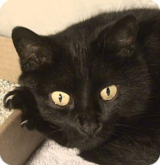 Domestic Shorthair Cat for adoption in El Cajon, California - Veronica