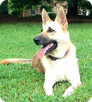 German Shepherd Dog Dog for adoption in Nashville, Tennessee - Nova