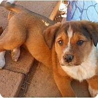 Adopt A Pet :: Sugar - dewey, AZ