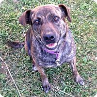 Adopt A Pet :: Brenley - Morgantown, WV
