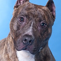 Adopt A Pet :: Bullwinkle - Chicago, IL