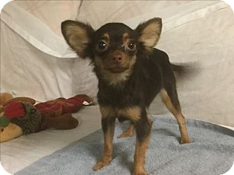 Chihuahua Dog for adoption in Phoenix, Arizona - Maya