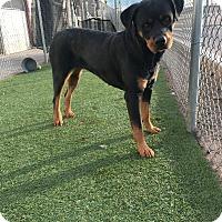 Adopt A Pet :: Shea - Gilbert, AZ