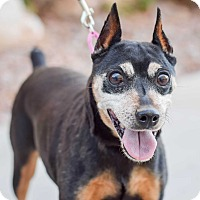 Miniature Pinscher Mix Dog for adoption in Gilbert, Arizona - Ripley