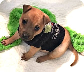 American Bulldog/Shar Pei Mix Puppy for adoption in Boulder, Colorado - Lane