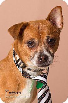 Chihuahua/Pug Mix Dog for adoption in Gilbert, Arizona - Patton