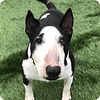 Adopt A Pet :: Sherman the tank - Raytown, MO