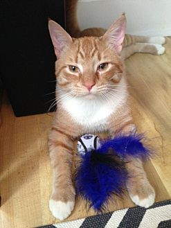 Domestic Shorthair Cat for adoption in Bryn Mawr, Pennsylvania - Jasper/ dog alike personality