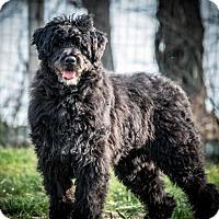 Bouvier des Flandres/Poodle (Standard) Mix Dog for adoption in Walnutport, Pennsylvania - Elsa