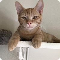 Adopt A Pet :: Cherry TG - Schertz, TX