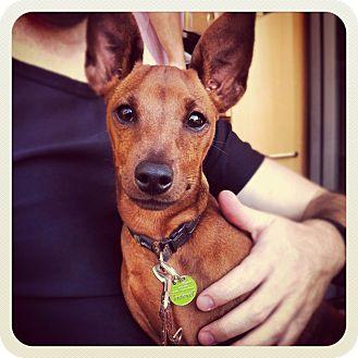 Miniature Pinscher Dog for adoption in Coon Rapids, Minnesota - Hendrix