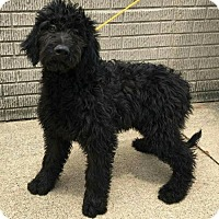Adopt A Pet :: ANDY~GOLDENDOODLE - WOODSFIELD, OH