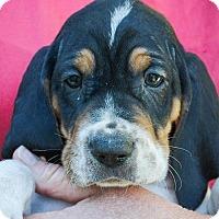 Adopt A Pet :: Prohibition Smuggler - Lakeport, CA