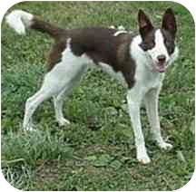 Border Collie Dog for adoption in Tiffin, Ohio - Bernie--ADOPTED!!