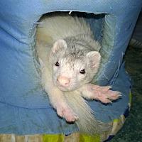 Adopt A Pet :: Ferret - Spokane Valley, WA