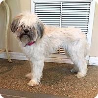 Adopt A Pet :: LADY ANTEBELLUM - Boca Raton, FL