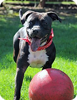 American Pit Bull Terrier Mix Dog for adoption in West Allis, Wisconsin - Mandy