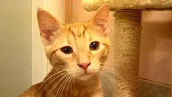 Domestic Shorthair Cat for adoption in Tyler, Texas - AA-Quinten