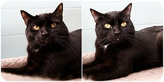 Domestic Shorthair Cat for adoption in Forked River, New Jersey - Miami