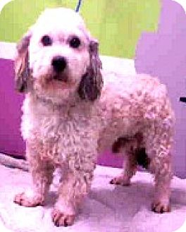 Poodle (Miniature)/Havanese Mix Dog for adoption in Boulder, Colorado - Bryce-ADOPTION PENDING
