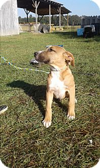 Mastiff Mix Puppy for adoption in Mantua, New Jersey - Buster