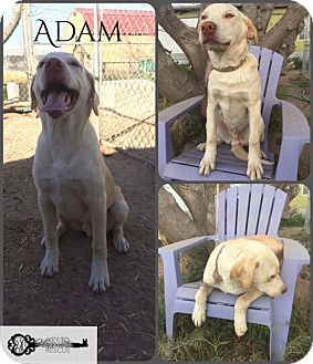 Great Pyrenees Mix Puppy for adoption in DeForest, Wisconsin - Adam