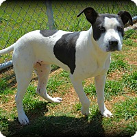 Staffordshire Bull Terrier/Terrier (Unknown Type, Medium) Mix Dog for adoption in Granbury, Texas - Libby