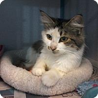 Adopt A Pet :: Muffin- Velcro Kitty - Arlington, VA
