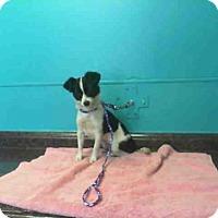 Adopt A Pet :: *PRIMADONNA - Las Vegas, NV